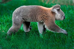 Koala walking along the grass