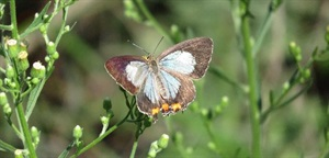 Imperial hairstreak butterfly - m.ellison