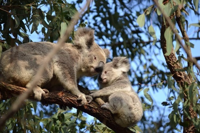 Image of St Helens Park Koala mum and bub